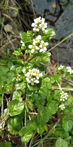 COCHLEAIRE, Coclearia, Cochlearia offininalis