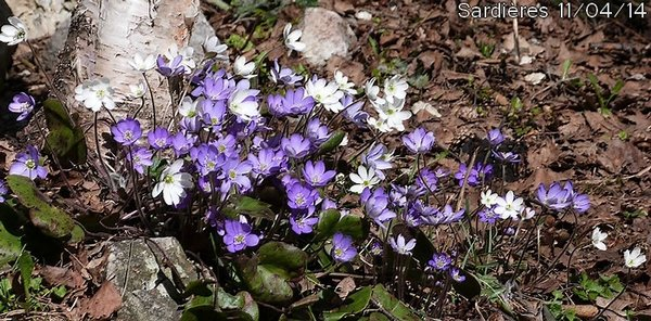 ANEMONE HEPATIQUE, HEPATICA,HEPATICA TRILOBA,